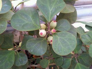 丸い実のようなものをつける植物