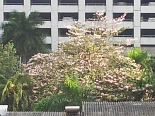 桜のようなタイの木