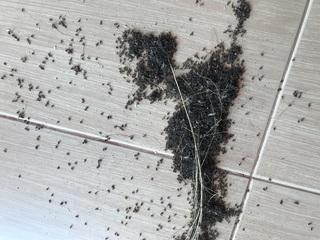 ほうきで集めた蟻
