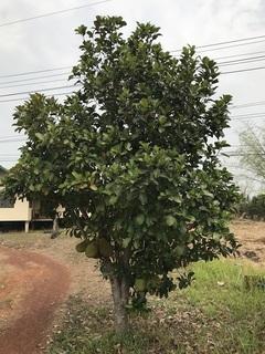 ジャックフルーツの樹
