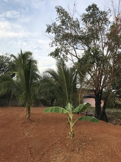 バナナの木など