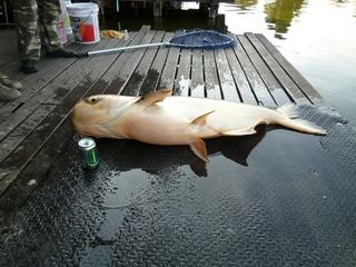 巨大淡水魚のプラーブック